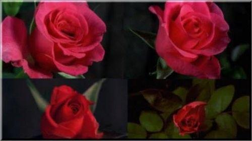 Футажи - распускающиеся цветы