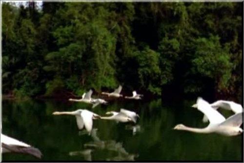 футаж Летящие лебеди