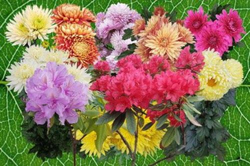 Клипарт Кустики рододендронов и хризантем